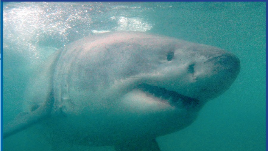 Fantastisk dykkertur med hvidhajer i Sydafrika